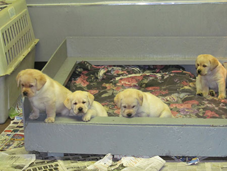 Blizzard puppies bred by Ann Burns
